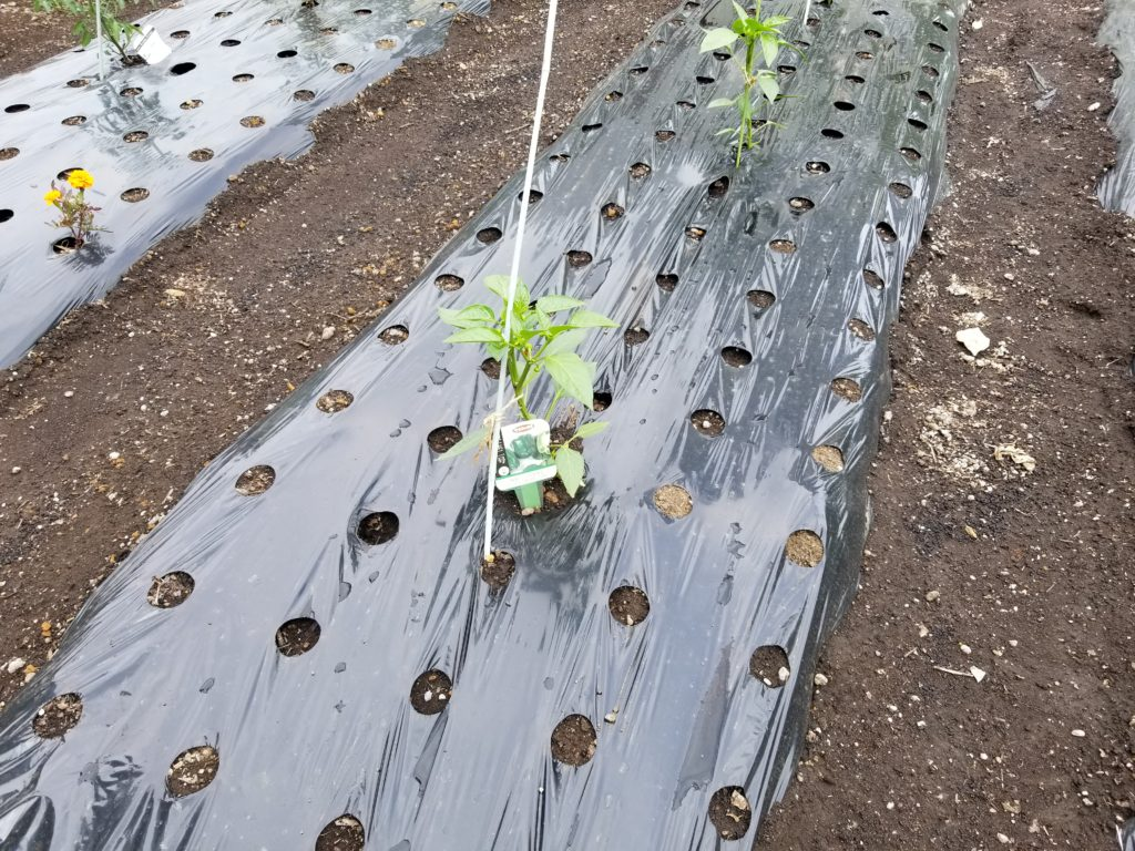 目黒天空庭園で栽培されているピーマンの苗
