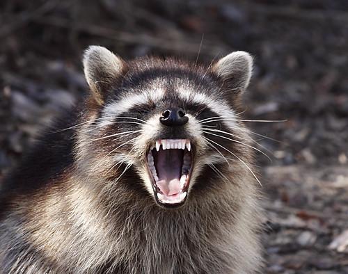 アライグマの恐い顔