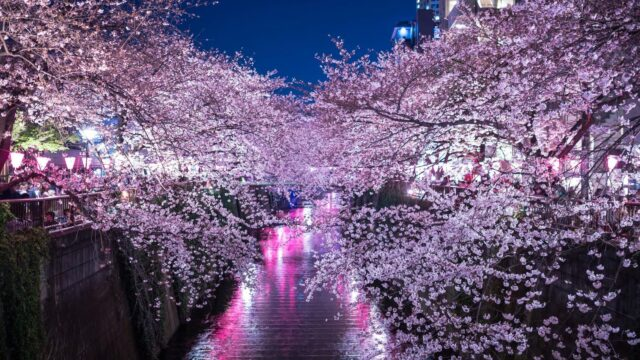 夜の目黒川の桜